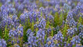 Το μπλε armeniacum Muscari, λουλούδια υάκινθων σταφυλιών καλλιεργεί την άνοιξη στοκ φωτογραφίες