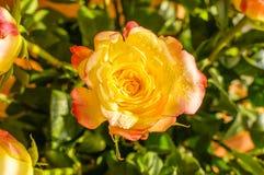 Το μπουμπούκι τριαντάφυλλου στον ήλιο Στοκ Φωτογραφίες