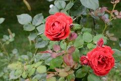 Το μπουμπούκι τριαντάφυλλου δύο κόκκινο αυξήθηκε με τις πτώσεις του νερού στο υπόβαθρο των πράσινων φύλλων στη θαμπάδα Στοκ φωτογραφία με δικαίωμα ελεύθερης χρήσης