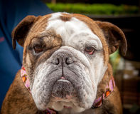 Το μπουλντόγκ στη Pet παρουσιάζει Στοκ Εικόνες