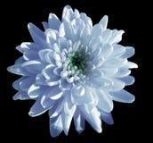 Το μπλε-άσπρο χρυσάνθεμο λουλουδιών, λουλούδι κήπων, ο Μαύρος απομόνωσε το υπόβαθρο με το ψαλίδισμα της πορείας closeup Καμία σκι Στοκ Φωτογραφία