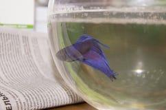 Το μπλε λίγο ψάρι Στοκ Εικόνα