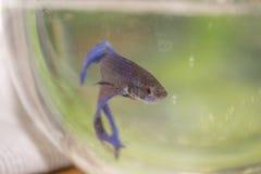 Το μπλε λίγο ψάρι Στοκ Εικόνες