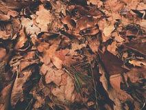 το μπλε ανασκόπησης αφήνει το δρύινο ουρανό Έδαφος πάρκων φθινοπώρου με τον τάπητα των ξηρών πορτοκαλιών δρύινων φύλλων, των σπασ Στοκ Εικόνες