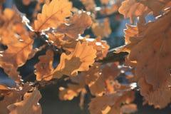 το μπλε ανασκόπησης αφήνει το δρύινο ουρανό Φθινόπωρο Ο πρώτος του Σεπτεμβρίου Στοκ εικόνες με δικαίωμα ελεύθερης χρήσης