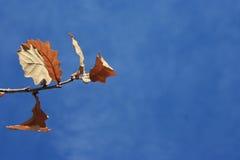 το μπλε ανασκόπησης αφήνει το δρύινο ουρανό Φθινόπωρο Στο κλίμα Στοκ Εικόνα