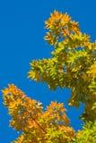 το μπλε ανασκόπησης αφήνει το δρύινο ουρανό Στοκ φωτογραφία με δικαίωμα ελεύθερης χρήσης