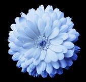 Το μπλε-ελαφρύ μπλε calendula λουλουδιών, μπλε πετάλων ανθών με τη δροσιά, ο Μαύρος απομόνωσε το υπόβαθρο με το ψαλίδισμα της πορ Στοκ εικόνα με δικαίωμα ελεύθερης χρήσης