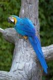 Το μπλε και κίτρινο ararauna Ara macaw Στοκ Εικόνες