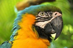Το μπλε-και-κίτρινο Macaw Στοκ Εικόνα