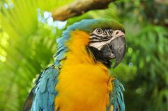 Το μπλε-και-κίτρινο Macaw Στοκ εικόνα με δικαίωμα ελεύθερης χρήσης