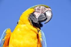 Το μπλε-και-κίτρινο Macaw Στοκ Εικόνες