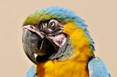 Το μπλε-και-κίτρινο Macaw Στοκ εικόνες με δικαίωμα ελεύθερης χρήσης