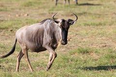 Το μπλε πιό wildebeest Στοκ φωτογραφίες με δικαίωμα ελεύθερης χρήσης
