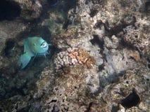 Το μπλε ψάρι παπαγάλων ανοίγει το στόμα όπως κολυμπά στους βράχους κοραλλιών Στοκ Εικόνα