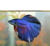 Το μπλε ψάρι Aquarian betta κολυμπά στο νερό ενυδρείων Στοκ φωτογραφία με δικαίωμα ελεύθερης χρήσης