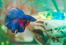 Το μπλε ψάρι Aquarian betta κολυμπά στο νερό ενυδρείων Στοκ Φωτογραφίες