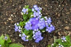 Το μπλε coelestinum Conoclinium mistflower ή το πορφυρό μπλε λουλούδι Ageratum φυτεύει την ανάπτυξη στο έδαφος Στοκ Εικόνες
