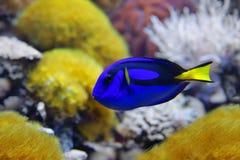 Το μπλε hepatus Paracanthurus γεύσης, διάφορα κοινά ονόματα αποδίδεται στα είδη, συμπεριλαμβανομένης της παλέτας surgeonfish, βασ στοκ φωτογραφία με δικαίωμα ελεύθερης χρήσης