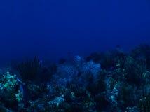 Το μπλε Tang συγκεντρώνει μέσα το σκόπελο στοκ εικόνα με δικαίωμα ελεύθερης χρήσης
