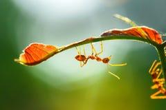 Το μυρμήγκι, έντομο, μυρμήγκι είναι στο φύλλο Στοκ Εικόνες