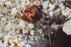 Το μυρμήγκι απομακρύνει το νεκρό μυρμήγκι Στοκ εικόνα με δικαίωμα ελεύθερης χρήσης