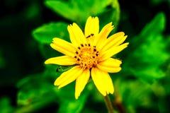 Το μυρμήγκι είναι σε ένα κίτρινο λουλούδι στοκ εικόνα