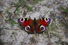 Το μυρμήγκι επιτίθεται σε ένα όμορφο ευρωπαϊκό peacock στο λιβάδι Στοκ εικόνα με δικαίωμα ελεύθερης χρήσης