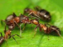 το μυρμήγκι θανάσιμο με φιλά Στοκ Φωτογραφίες