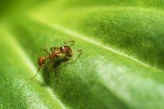 Το μυρμήγκι στο φύλλο Στοκ φωτογραφία με δικαίωμα ελεύθερης χρήσης