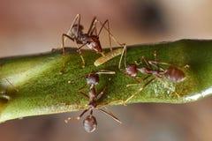 Το μυρμήγκι τρία βρήκε τα τρόφιμά τους Στοκ Εικόνες