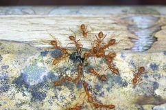 Το μυρμήγκι υφαντών επιτίθεται σε ένα μαύρο μυρμήγκι Στοκ φωτογραφίες με δικαίωμα ελεύθερης χρήσης