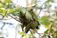 Το μυρμήγκι φωλιών, μυρμήγκια τοποθετείται στα πράσινα φύλλα ενός δέντρου με να ενώσει από κοινού στοκ εικόνα