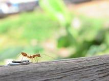Το μυρμήγκι Στοκ Εικόνες