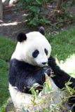 το μωρό αντέχει το panda Στοκ Φωτογραφίες
