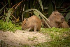 Το μωρό Capybara εξερευνά ενώ ρολόγια μητέρων στοκ φωτογραφίες με δικαίωμα ελεύθερης χρήσης