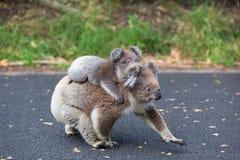 Το μωρό Koala της Αυστραλίας αντέχει και mom Στοκ Εικόνες
