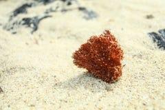 Το μόνο κοράλλι στοκ εικόνα με δικαίωμα ελεύθερης χρήσης