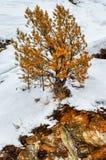 Το μόνο κόκκινο πεύκο αυξάνεται από την πέτρα Χειμώνας στα Ουράλια Στοκ φωτογραφία με δικαίωμα ελεύθερης χρήσης