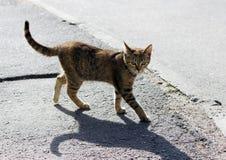 το μόνο περιπλανώμενο χρώμα tricolor ταρταρουγών γατών είναι η άσφαλτος στο πεζοδρόμιο Στοκ φωτογραφία με δικαίωμα ελεύθερης χρήσης