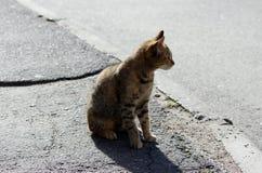 το μόνο περιπλανώμενο χρώμα tricolor ταρταρουγών γατών είναι η άσφαλτος στο πεζοδρόμιο Στοκ Φωτογραφίες