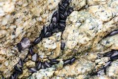 Το μύδι έχει συνήθως ένα σκοτεινό επιμηκυμένο κοχύλι κρεμά στο βράχο στοκ φωτογραφία