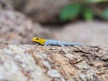 το νάνο gecko διεύθυνε κίτρινο Στοκ Εικόνες
