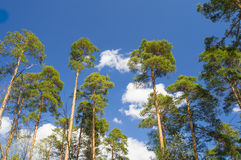 Το νέο δάσος πεύκων στο υπόβαθρο ουρανού στοκ εικόνες