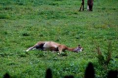 Το νέο άλογο Στοκ εικόνα με δικαίωμα ελεύθερης χρήσης