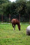 Το νέο άλογο Στοκ φωτογραφία με δικαίωμα ελεύθερης χρήσης