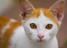 Το νέο γατάκι κοιτάζει επίμονα στη κάμερα στοκ φωτογραφία