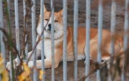 Το νέο εσωτερικό σκυλί βρίσκεται πίσω από το φράκτη και εξετάζει το ST Στοκ Εικόνες
