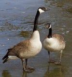 Το νέο ζευγάρι των χήνων Στοκ Φωτογραφία