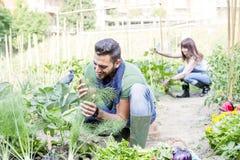 Το νέο ζεύγος συλλέγει τα λαχανικά στον κήπο Στοκ εικόνα με δικαίωμα ελεύθερης χρήσης